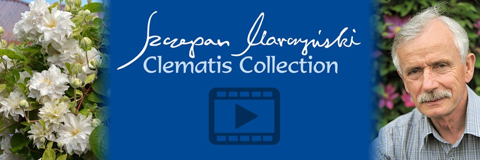 Клематис Шчепан Марчинский collection