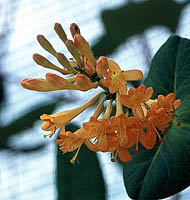 ph art0408 lonicera brownii Golden Trumpet kwiaty2