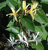 ph art0408 lonicera japonica Purpurea kwiaty