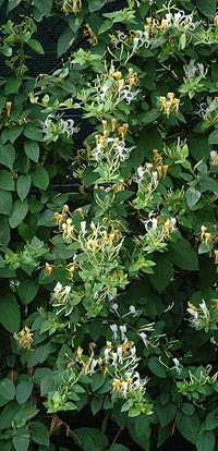 ph art0408 lonicera japonica halliana krzak