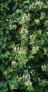 ph art0408 lonicera japonica halliana krzak1