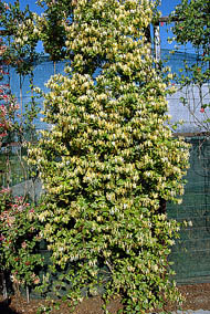 ph art0408 lonicera japonica halliana krzak2