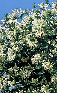 ph art0408 lonicera periclymenum Graham Thomas krzak2