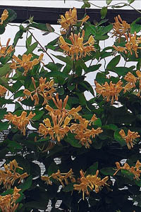 ph art0408 lonicera tellmaniana