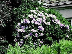 Clematis 'Nelly Moser' na Taxus