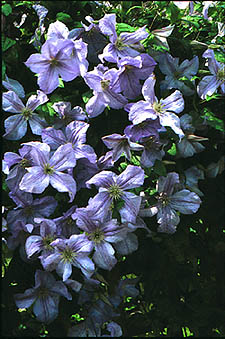 Clematis 'Emilia Plater' kwiat grono