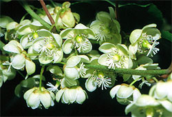 L 39 actinidia arguta agricola carolina for Albero di kiwi