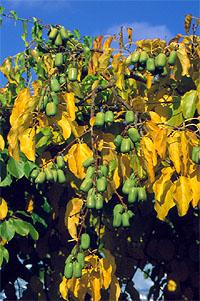 Actinidia Kiwi Berry