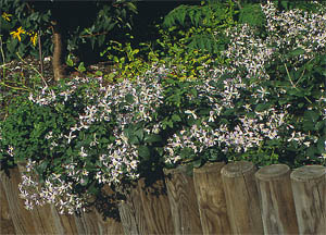 clematis praecox from the heracleifolia group. Black Bedroom Furniture Sets. Home Design Ideas