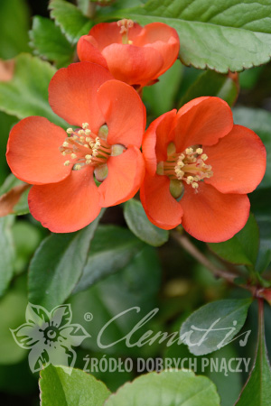 Japanese Quince 'Sargentii'