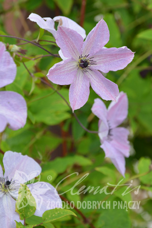 Clematis 'Fairydust'