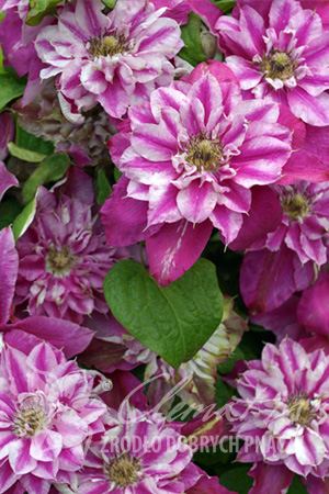 Clematis 'My Darling'PBR