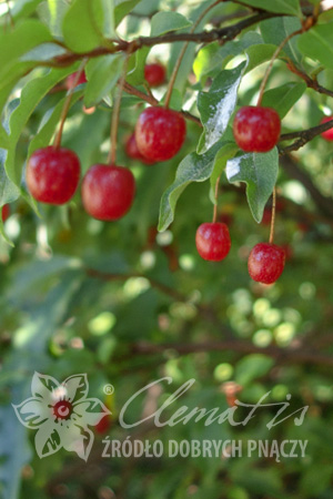 Cherry silverberry