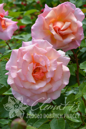Climbing rose 'Compassion'