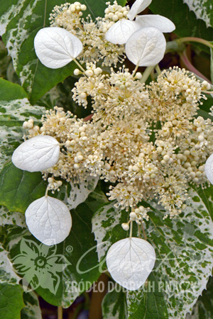 Japanese Hydrangea-vine BURST OF LIGHT®