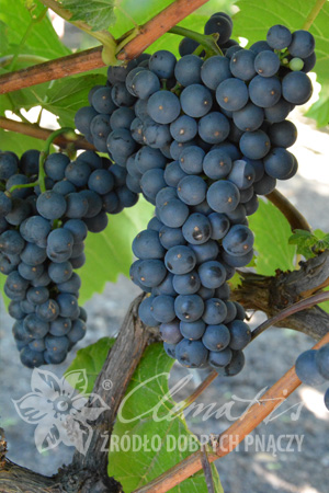 Wine Grape 'Leon Millot'