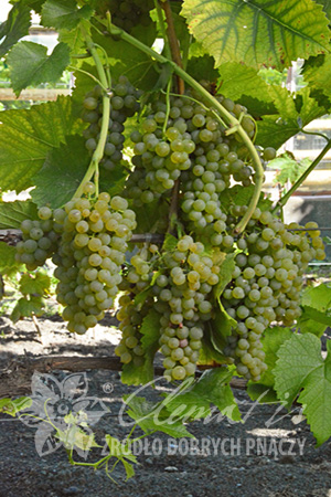 Wine Grape 'Solaris'