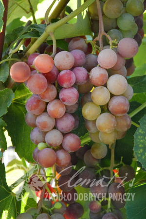 Wine Grape 'Swenson Red'