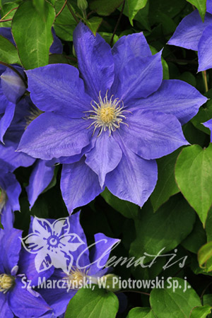 Clematis  'H.F. Young'