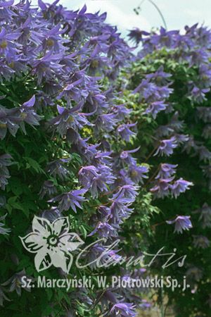 Clematis 'Cecile'