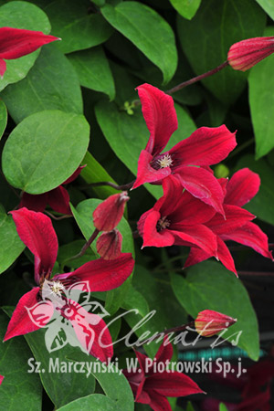 Clematis 'Gravetye Beauty'