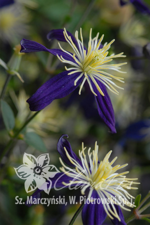 Clematis ×aromatica