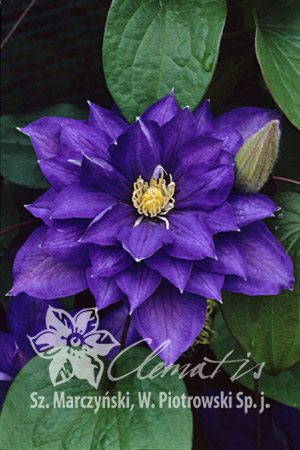 Clematis 'Beauty of Worcester'