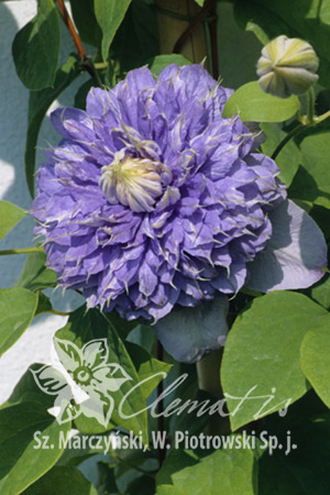 Clematis  'Blue Light'PBR