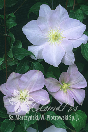 Clematis 'Louise Rowe'