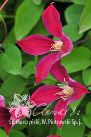Clematis 'Sir Trevor Lawrence'