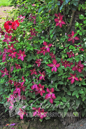 Clematis 'Polonez'