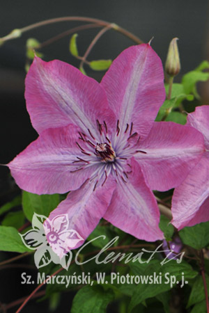 Clematis  'Bieszczady' EARTHQUAKE