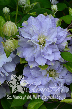 Clematis 'Diamond Ball' PBR