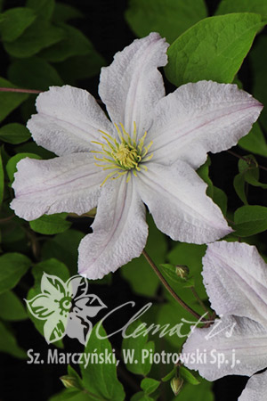 Clematis 'White Prince Charles'