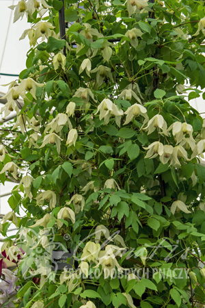 Clematis 'Lemon Beauty' PBR