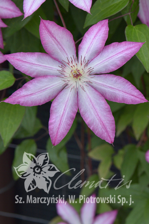Clematis 'Tae'
