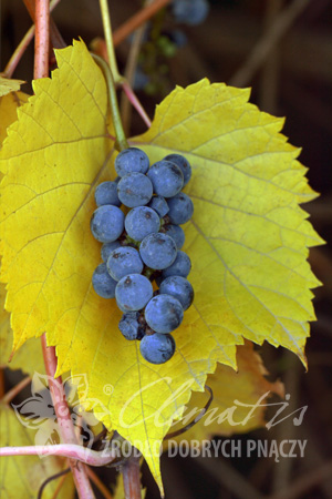 Frost Grape 'Ania'