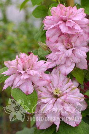 Clematis 'Innocent Glance' PBR