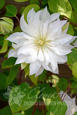 Clematis 'First Love'PBR