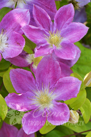 Clematis 'Change of Heart'PBR