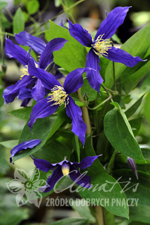 Clematis 'Blue Sensation'