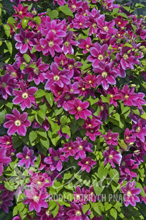 Clematis 'Hania'