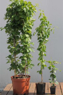 Celastrus in C10, C2 containers and Hedera in pot P9