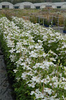 Clematis in C2 - view on nursery plots