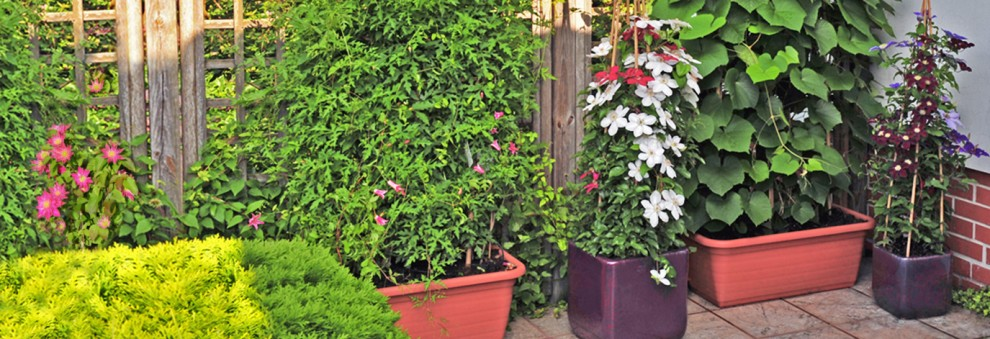 Planting Clematis and other climbers on the balcony - video