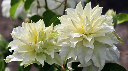 Early Large-flowered Group Clematis 'Maria Skłodowska-Curie'PBR