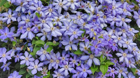 Early Large-flowered Group Clematis 'Blue Pillar'