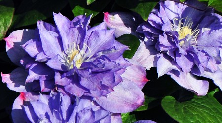 Early Large-flowered Group Clematis 'Blue Explosion' PBR