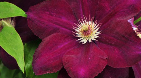 Late Large-flowered Group Clematis 'Mazowsze' VOLCANO