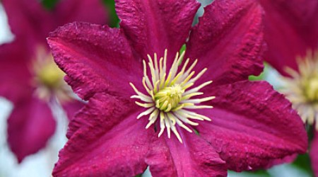 Viticella Group Clematis 'Polonez'